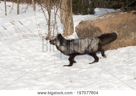 Silver Fox (Vulpes vulpes) Walks Left - captive animal