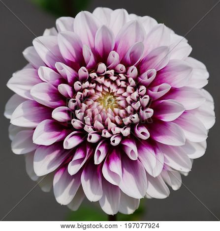 Dahlia (Dahlia), beautiful flowers of summer season