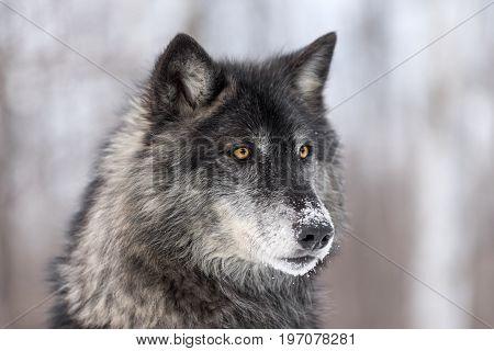 Black Phase Grey Wolf (Canis lupus) Profile Right - captive animal