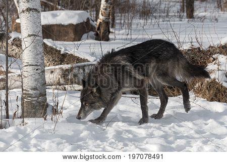 Black Phase Grey Wolf (Canis lupus) Walks Left - captive animal
