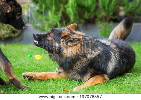 Old German Shepherd Shows Aggression