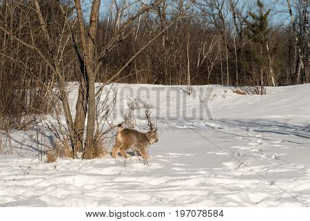 Canadian Lynx (Lynx canadensis) Looks Right From Trees - captive animal