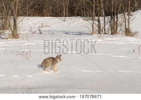 Canadian Lynx (Lynx canadensis) Stops Short in Snow - captive animal