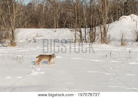 Canadian Lynx (Lynx canadensis) Walks Right Across Snow - captive animal