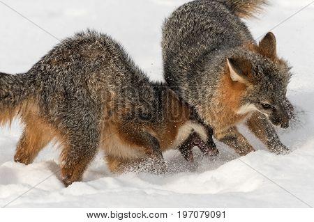 Grey Fox (Urocyon cinereoargenteus) Disagreement Closeup - captive animals