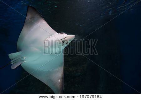 Smiling stingray swims in blue water in aquarium