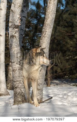 Grey Wolf (Canis lupus) Looks Right From Trees - captive animal