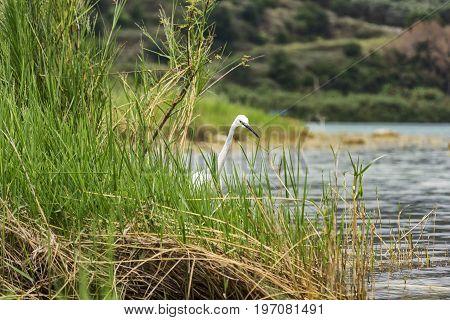White dwarf heron is visible beyond the vegetation