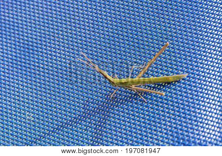 On the blue mesh surface there is an orthopteran insect Tettigonioidea