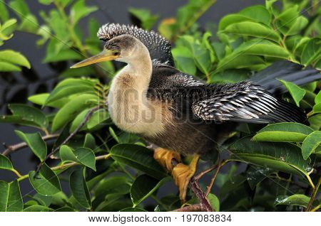 The Anhinga in the Florida Everglades National Park