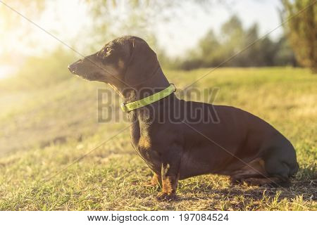 Dog puppy dachshund in a green slinger sits on a background of green grass at sunset
