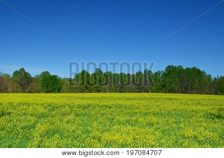 Yellow canola field blooming in Spring with a clear blue sky