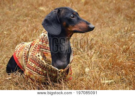 Dog puppy dachshund in sits in a bright sweatshirt with a hood on a yellow grass in an autumn park.