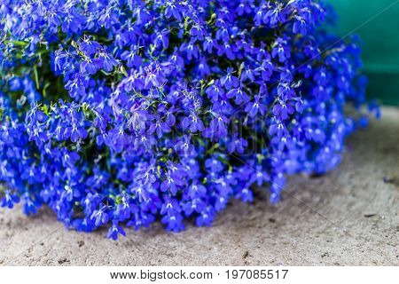 Macro closeup of many blue lobelia flowers in flower pot