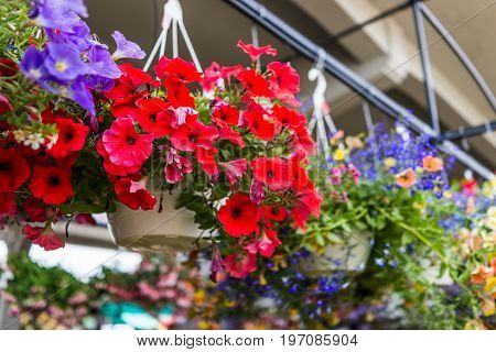 Hanging Flower Pots With Macro Closeup Of Vibrant Red Calibrachoa Flowers