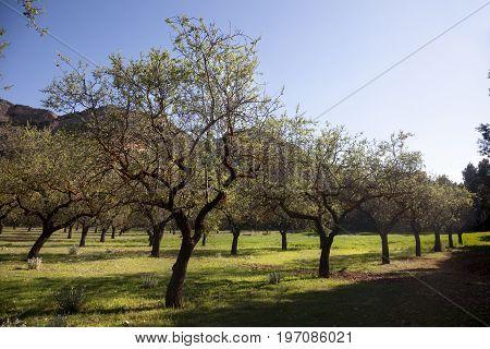 Almond Blossom field in Tarragona province. Spain