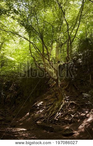 Father beech. Los Ports mountains Natural Park