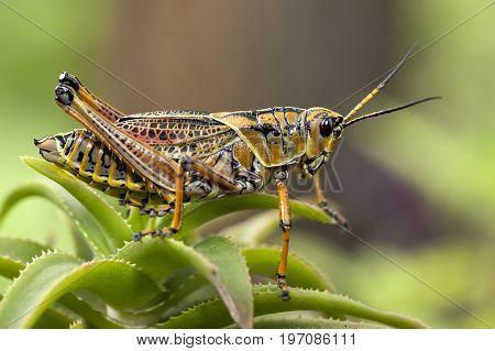 Macro image of a yellow locust in Deland Florida.