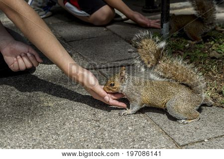 At the national mall in Washington DC it is common to see squirrels approaching people for food.