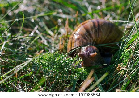 Adult african achatina snails eats grass outdoors under rain