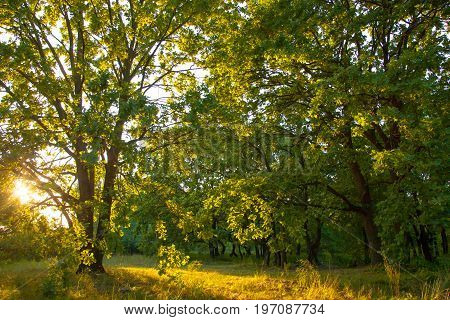 old oak magic forest sunlight sunrise sunset
