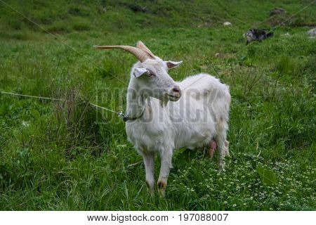 A White Goat Near The Peninsula Of Mangup Plateau