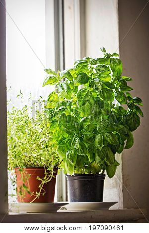 Basil and thyme herbs in pots on the window
