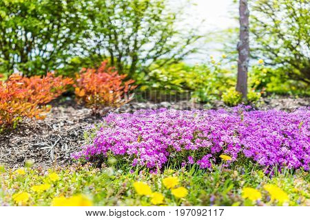 Creeping Phlox Purple Beauty Flowers Bush In Quebec, Canada By St Lawrence River And Chemin Du Roy I