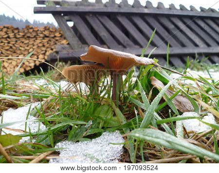 Mushroom in the grass in the end of winter