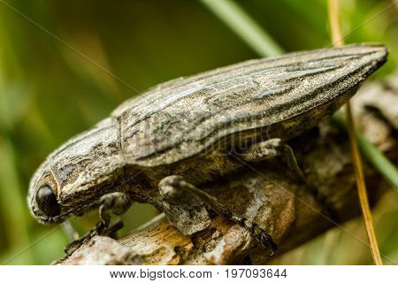 The Pine-borer - Chalcophora mariana. A large gray beetle with a pattern on its back. The beetle sits on a pine bough. Antennae are hidden under themselves.