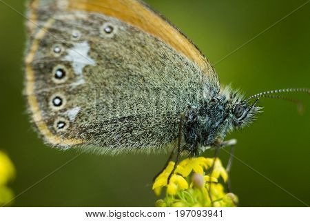 The chestnut heath - Coenonympha glycerion. An amazingly beautiful butterfly sits on a flower and rests. Wings are stacked together. Back background is a saturated green color.