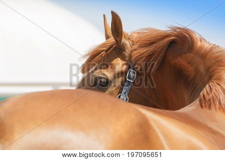 Beautiful chestnut colour horse turned the head and see back