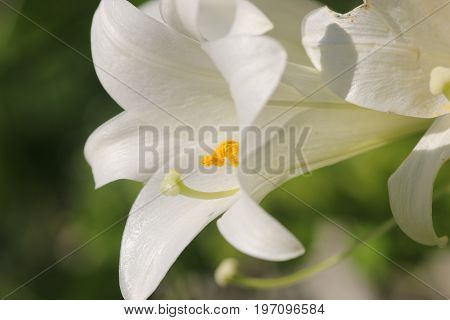 An Easter Lily white flowers growing in a  garden