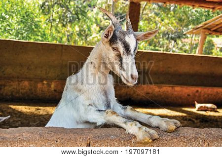 Close-up of goat in a farmhouse near the village of Joanópois. Located in the countryside of São Paulo State, a region rich in agricultural and livestock products, southwestern Brazil poster