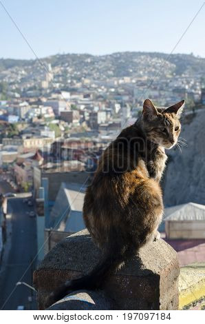 VALPARAISO CHILE 24 JANUARY 2016: street cat sitting at the column with the view to the city