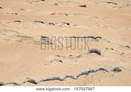 Tillandsial plant growing on arid soil of a desert