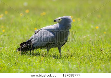 Gymnogene bird of prey on sunlit grass. African harrier-hawk (Polyboroides typus). Majestic gray bird. Beautiful nature image.