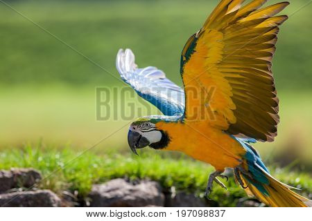 Blue and yellow (gold) macaw (Ara ararauna). Beautiful parrot flying in close up. Wild tropical bird often kept as a pet.