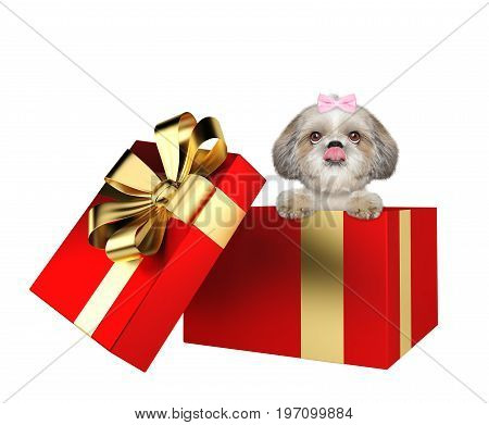 Cute shitzu dog in a red present box isolated on white background