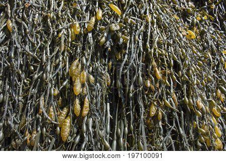 Kelp Or Seagrass