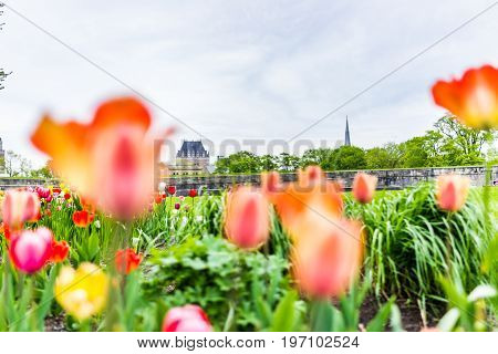 Quebec City, Canada - May 29, 2017: Macro Closeup Of Orange And Pink Tulips In Summer By Green Grass