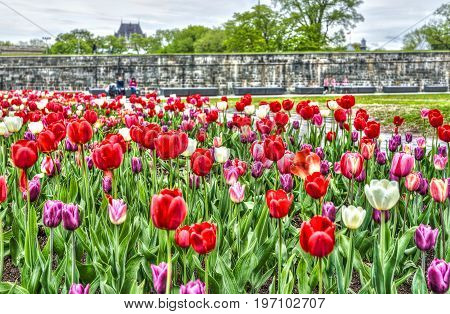 Quebec City, Canada - May 29, 2017: Macro Closeup Of Purple And Red Tulips In Summer By Green Grass