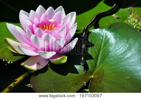 A garter snake slithers across a lily pad and its lotus bloom in the pond.