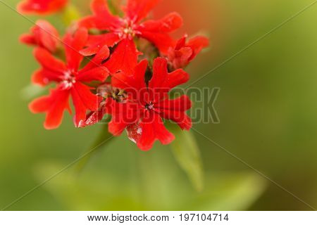 Macro photo of a burning love flower Lychnis chalcedonica.