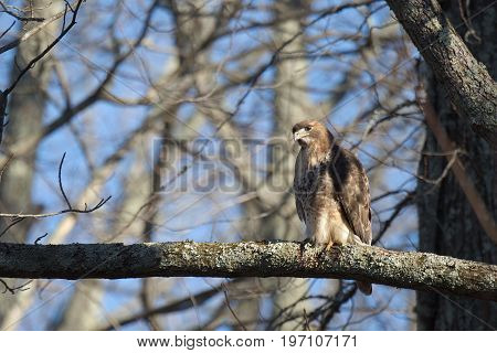 Red Tailed Hawk bird of prey also known as chickenhawk in the wild perched for hunting