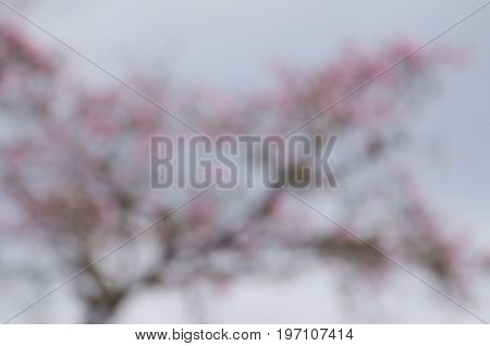 Blurred crown of Pink poui tree - natural background