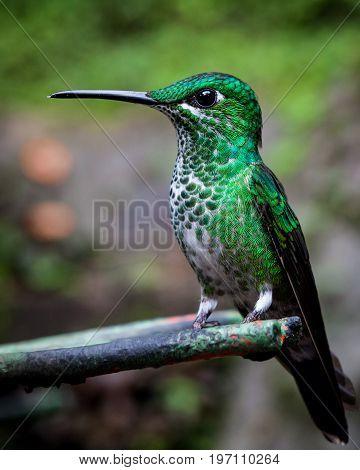 Green-crowned brilliant hummingbird sitting monteverde Costa Rica