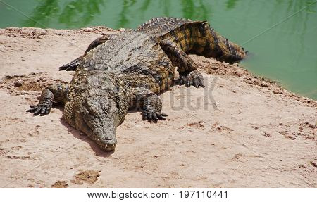 a nile crocodile is lying on a rock on a shore of a green lake a part of its tail is still in the water