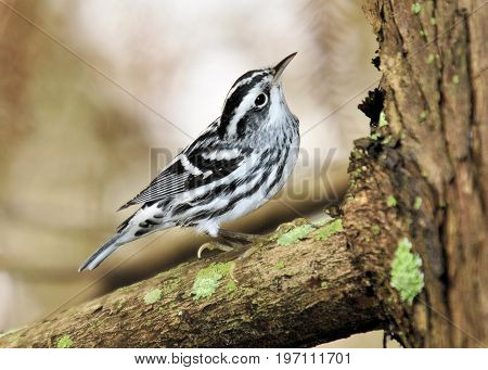 Black and White / The Black and White Warbler in the Florida Everglades poster