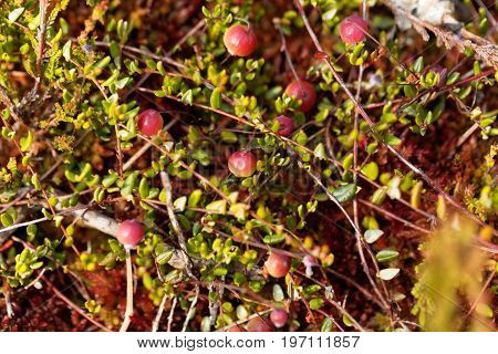 Berries of a Bog cranberry Vaccinium oxycoccos a small wild cranberry from Europe and Asia.